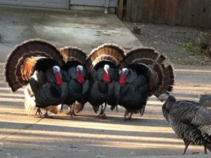 Turkey lessons about optimizing your pet website for SEO, visitors
